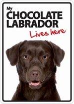 Chocolate Labrador lives here