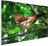 Rosse spotlijster is klaar om weg te vliegen Plexiglas 80x60 cm - Foto print op Glas (Plexiglas wanddecoratie)