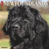 Just Newfoundlands 2019 Wall Calendar