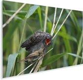 Jonge kleine karekiet wordt gevoed door zijn vader Plexiglas 180x120 cm - Foto print op Glas (Plexiglas wanddecoratie) XXL / Groot formaat!