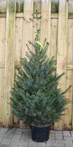 Kerstboom Warentuin Picea Omorika 100 - 125 cm Warentuin Natuurlijk