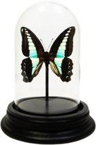 Opgezette vlinder in glazen stolp - Graphium sarpedon