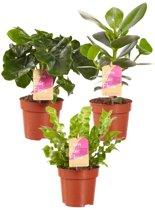 Choice of Green - 3Clusia, Asplenium, Philodendron oftewel Luchtzuiverend Pakket - Kamerplant in Kwekerspot ⌀12 cm - Hoogte ↕30 cm