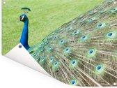 Verenvacht van groene pauw goed in beeld Tuinposter 80x60 cm - Tuindoek / Buitencanvas / Schilderijen voor buiten (tuin decoratie)