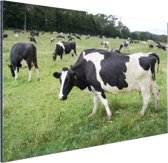Zwart-witte koeien in weiland Aluminium 30x20 cm - Foto print op Aluminium (metaal wanddecoratie)