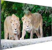 Twee leeuwinnen Aluminium 30x20 cm - klein - Foto print op Aluminium (metaal wanddecoratie)