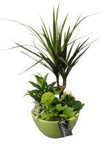 Kamerplant van Botanicly – Arrangement Basis creatie in schaal keramiek groenincl. bloempot groenals set – Hoogte: 45 cm