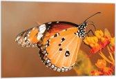 Dibond –Oranje Vlinder– 60x40 Foto op Dibond;Aluminium (Wanddecoratie van metaal)