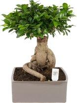 Bonsai Ficus ginseng 4kant in keramiek pot 31 cm