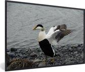 Foto in lijst - Een grote eidereend spreidt zijn vleugels fotolijst zwart 60x40 cm - Poster in lijst (Wanddecoratie woonkamer / slaapkamer)
