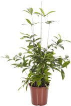 Dracaena Surculosa (pot 24 cm)