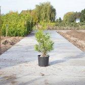 Coniferen 'Brabant' - 'Thuja occidentalis Brabant' per twee meter (5 stuks) 80 - 100 cm totaalhoogte