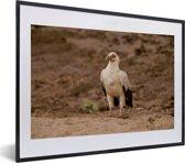 Foto in lijst - Mooie gierarend of palmarend in droog gebied fotolijst zwart met witte passe-partout klein 40x30 cm - Poster in lijst (Wanddecoratie woonkamer / slaapkamer)