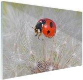 Lieveheersbeestje op paardebloem Glas 60x40 cm - Foto print op Glas (Plexiglas wanddecoratie)