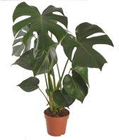 De Gatenplant (monstera) - plant is 55 cm hoog