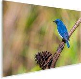 Een Azuurvliegenvanger met een dennenappel op een takje Plexiglas 60x40 cm - Foto print op Glas (Plexiglas wanddecoratie)