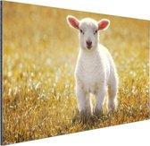 Een jong lam Aluminium 90x60 cm - Foto print op Aluminium (metaal wanddecoratie)