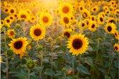 Poster zonnebloemen | Dieren poster | 60x40 cm liggend