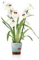 Inca Orchidee Miltonia Wit