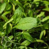 Spinazie zaden biologisch (Spinacia oleracea) 0.5 g
