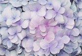 Fotobehang Flowers Hydrangea Purple Pink   XXL - 206cm x 275cm   130g/m2 Vlies