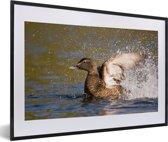 Foto in lijst - De eidereend klapt met zijn vleugels in het water fotolijst zwart met witte passe-partout 60x40 cm - Poster in lijst (Wanddecoratie woonkamer / slaapkamer)