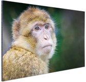 Portret van een makaak aap Aluminium 90x60 cm - Foto print op Aluminium (metaal wanddecoratie)