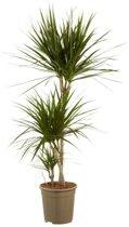 Dracaena Marginata - Drakenbloedboom - Kamerplant in kwekerspot - ↑ 125CM - Ø 24CM - Het Beste van de Kweker
