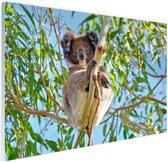 Koala zittend op een boom Glas 30x20 cm - klein - Foto print op Glas (Plexiglas wanddecoratie)