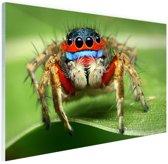 Springende spin Glas 60x40 cm - Foto print op Glas (Plexiglas wanddecoratie)