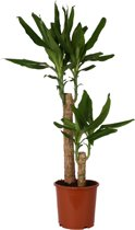 Dracaena Green 80cm