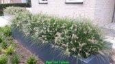 12 Stuks Pennisetum Alopecuroides 'Little Bunny' - Lampepoetsersgras - p9