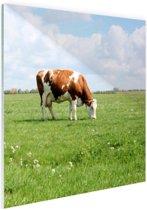 Bruin-witte koe in de wei Glas 50x50 cm - Foto print op Glas (Plexiglas wanddecoratie)