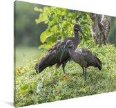 Een mannelijke en vrouwelijke hadada-ibis in de natuur Canvas 180x120 cm - Foto print op Canvas schilderij (Wanddecoratie woonkamer / slaapkamer) XXL / Groot formaat!