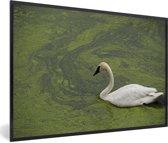Foto in lijst - Een trompetzwaan in groen water fotolijst zwart 60x40 cm - Poster in lijst (Wanddecoratie woonkamer / slaapkamer)