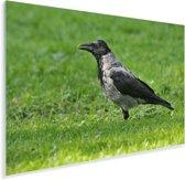 Bonte kraai staat in het gras Plexiglas 180x120 cm - Foto print op Glas (Plexiglas wanddecoratie) XXL / Groot formaat!