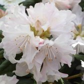 Rhododendron 'Dora Amateis' - Rhododendron 20-30 cm in pot
