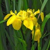 Waterworld Iris Pseudacorus - Gele Lis - 4 Stuks + Oppot Set (Vijvermandje, Klei, Grind & Voeding)