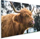 De gelukkige Schotse hooglander likt haar neus Plexiglas 120x80 cm - Foto print op Glas (Plexiglas wanddecoratie)