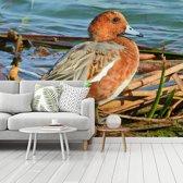 Fotobehang vinyl - De oranje borst van deze smient in het mooie daglicht breedte 350 cm x hoogte 260 cm - Foto print op behang (in 7 formaten beschikbaar)