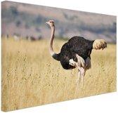 Struisvogel in de natuur Canvas 80x60 cm - Foto print op Canvas schilderij (Wanddecoratie woonkamer / slaapkamer) / Dieren Canvas Schilderijen