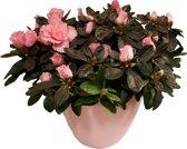 Roze Azalea Met Sieroverpot Mooi Cadeau Dutch Flower Lady© Product.