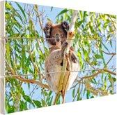 Koala zittend op een boom Hout 80x60 cm - Foto print op Hout (Wanddecoratie)