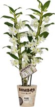 Bamboo Orchid Pure White