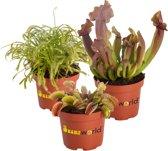 Swampworld Vleesetende Planten Mix P9 - 3 Stuks + Gekleurde Potten