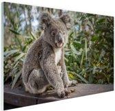 Zittende koala in Australie Glas 90x60 cm - Foto print op Glas (Plexiglas wanddecoratie)