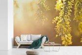 Fotobehang vinyl - Close up van gele acacia bloemen tegen zonlicht breedte 390 cm x hoogte 260 cm - Foto print op behang (in 7 formaten beschikbaar)