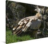 Vale gier in het gras Canvas 140x90 cm - Foto print op Canvas schilderij (Wanddecoratie woonkamer / slaapkamer)