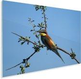 Een Bijeneter zit hoog in een takje Plexiglas 80x60 cm - Foto print op Glas (Plexiglas wanddecoratie)