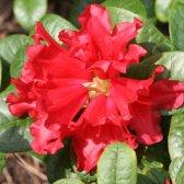Rhododendron 'Scarlet Wonder' - Rhododendron 20-30 cm in pot